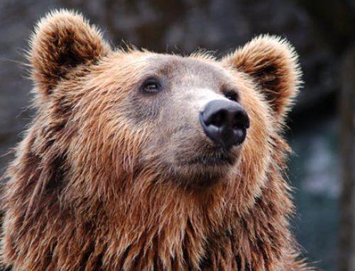Die Welt der Krafttiere: Der Bär