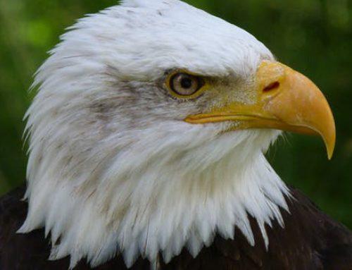 Die Welt der Krafttiere: Der Adler
