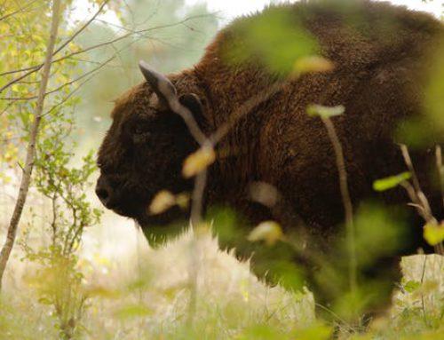 Die Welt der Krafttiere: Der Büffel